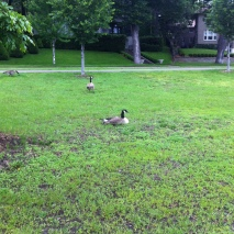 15k-geese