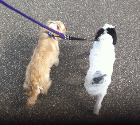 A coupler makes walking two dogs easy without all the crossing of leashes!