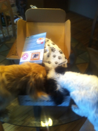 Shamrock & Sophie tearing into their Spoiled Rotten Box