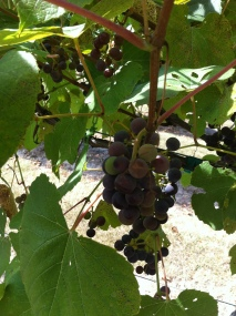Winehaven Grapes