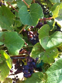 Winehaven Grapes2