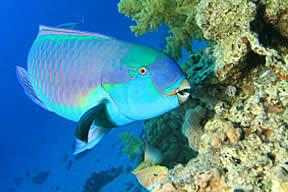 parrot fish 2