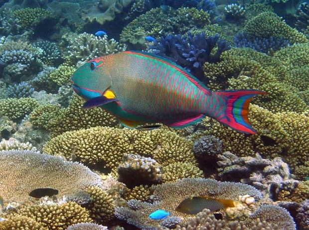 The last day the great barrier reef season it already for Wings fish